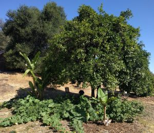 Volunteer squash and tomatoes under orange tree