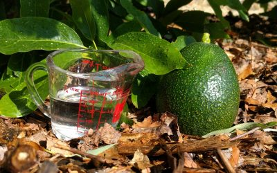 How much and how often to water avocado trees in California