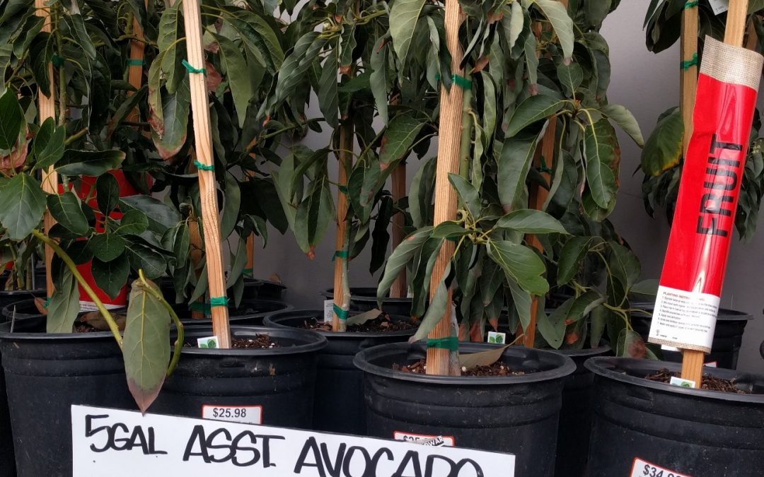 Where to buy an avocado tree