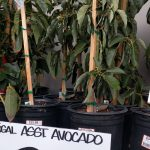 Avocado trees for sale Home Depot