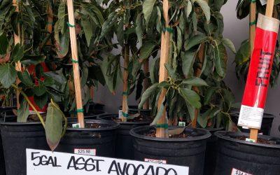 Avocado trees for sale Home Depot