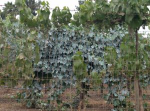 Clay spray film on grape foliage for sunburn protection