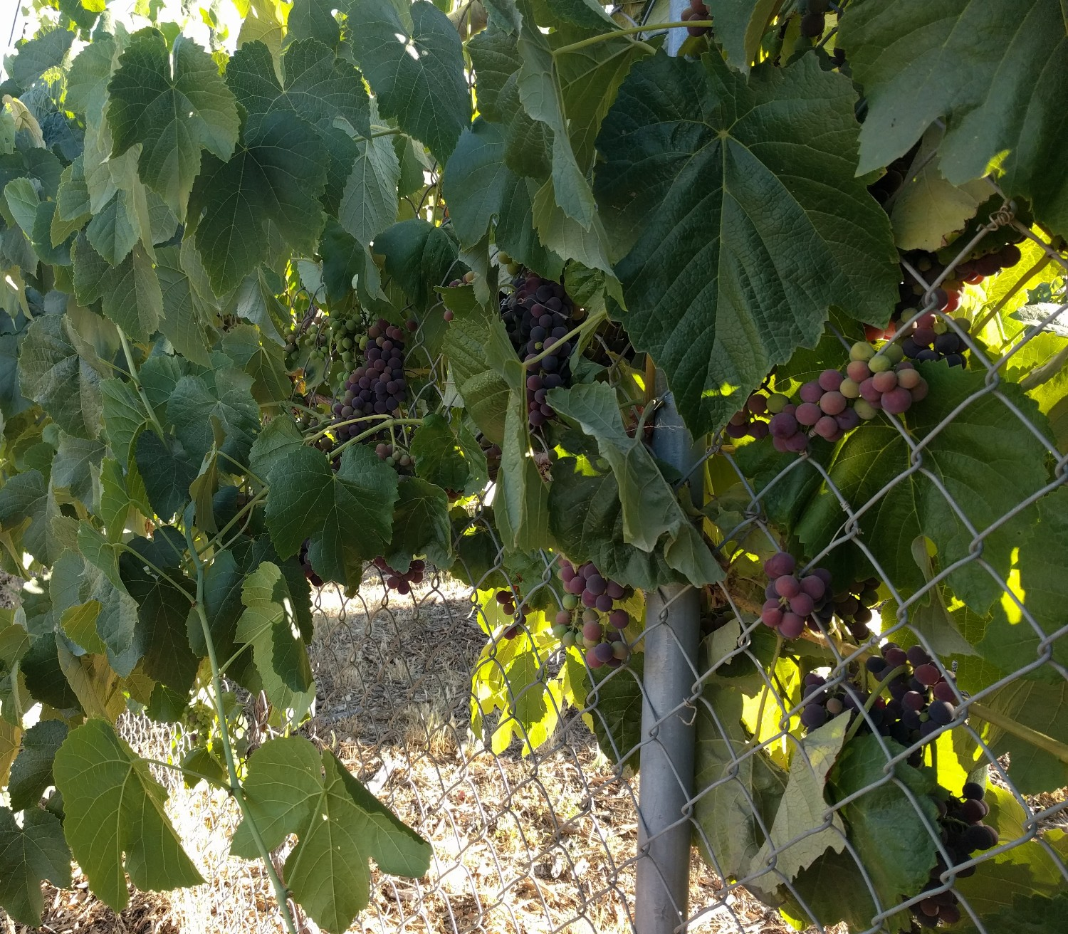 How To Grow Grapes On A Chain Link Fence