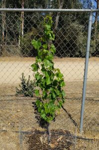 Grapevine first year tied vertical to chain link fence