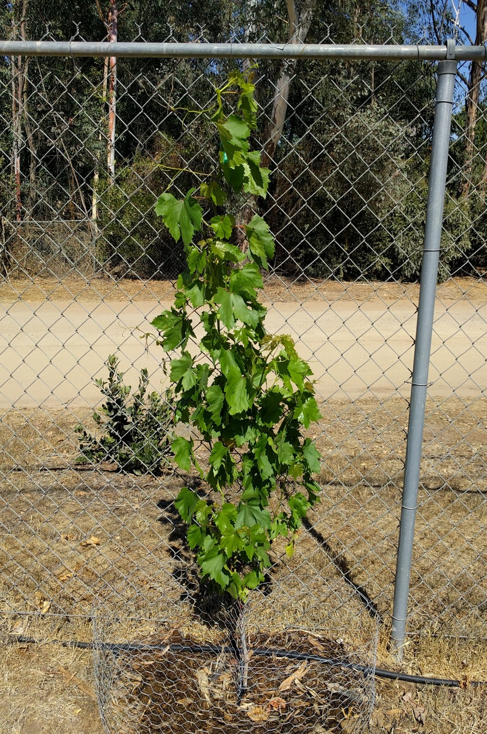 How To Grow Grapes On A Chain Link Fence Greg Alder S