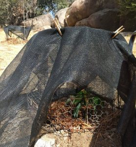 Jan Boyce avocado tree under shade cloth during heat wave
