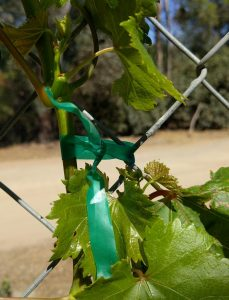 Nursery tape tie grapevine