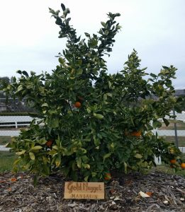Sign for Gold Nugget mandarin orange tree