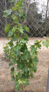 Young grapevine healthy after 113 degree heat