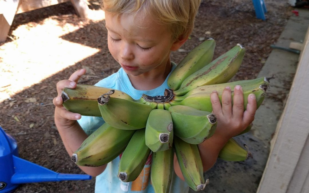 Growing bananas in Southern California