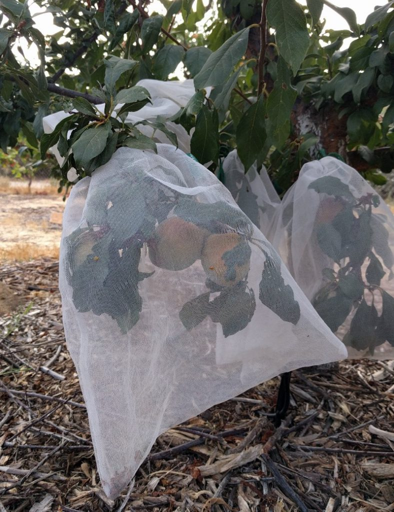 multiple pluots in one bag for bird protection