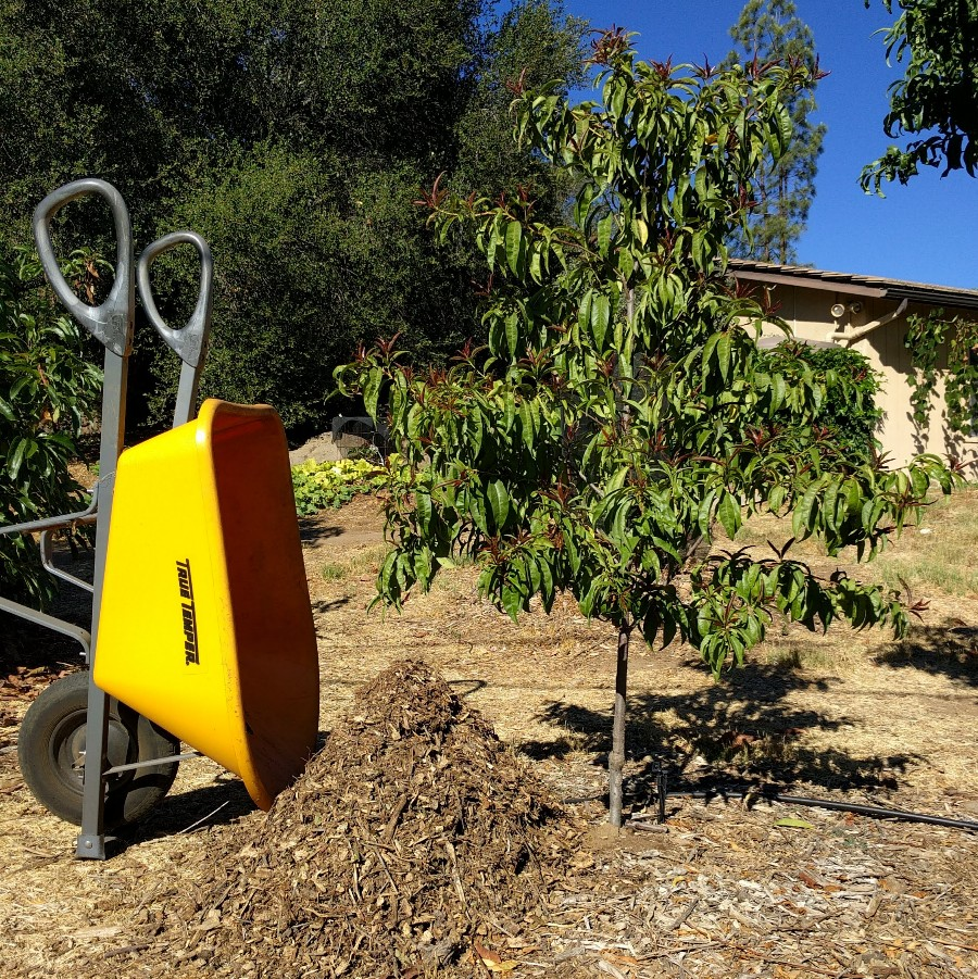 Using Wood Chips As Mulch For Fruit Trees Greg Alder S Yard