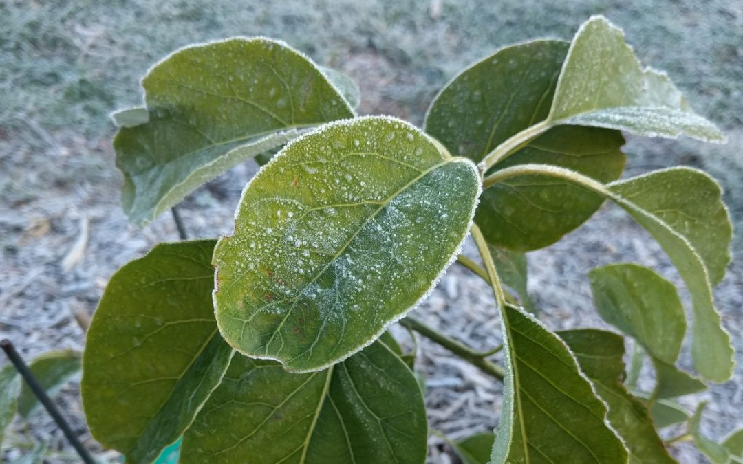 Protecting avocado trees from cold