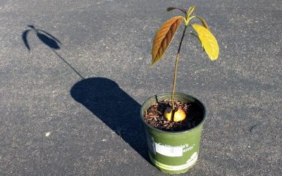 What kind of avocado tree do you get when you plant a seed?