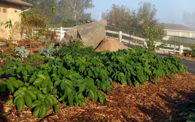 Using wood chips as mulch for vegetables