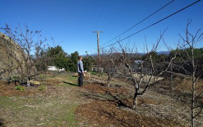 Think about sunshine when pruning deciduous fruit trees