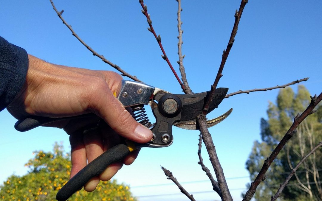 Where to cut a branch on a deciduous fruit tree
