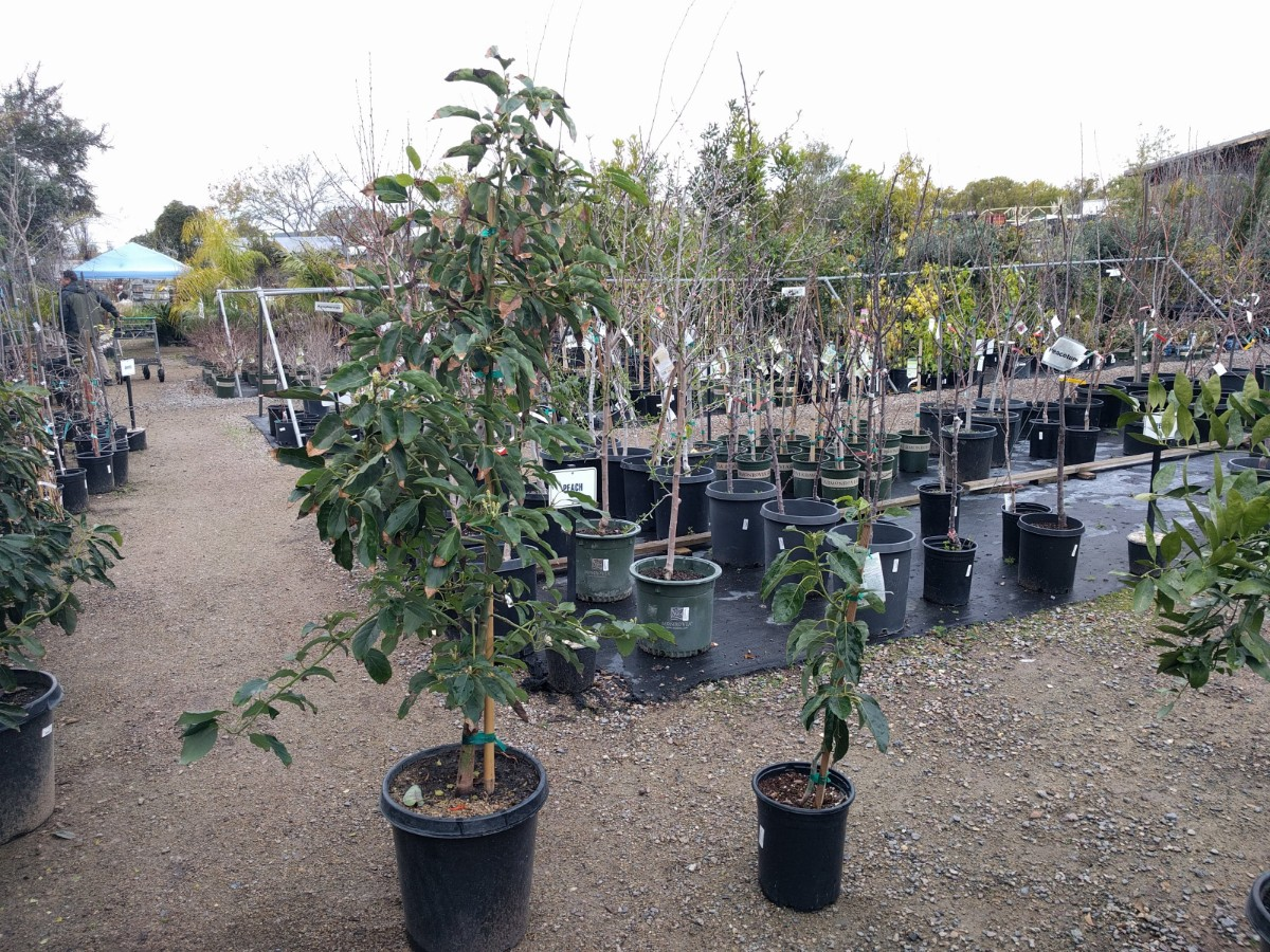 10 Weeping Peach Tree Cuttings for Propogation Fun Project Free Shipping