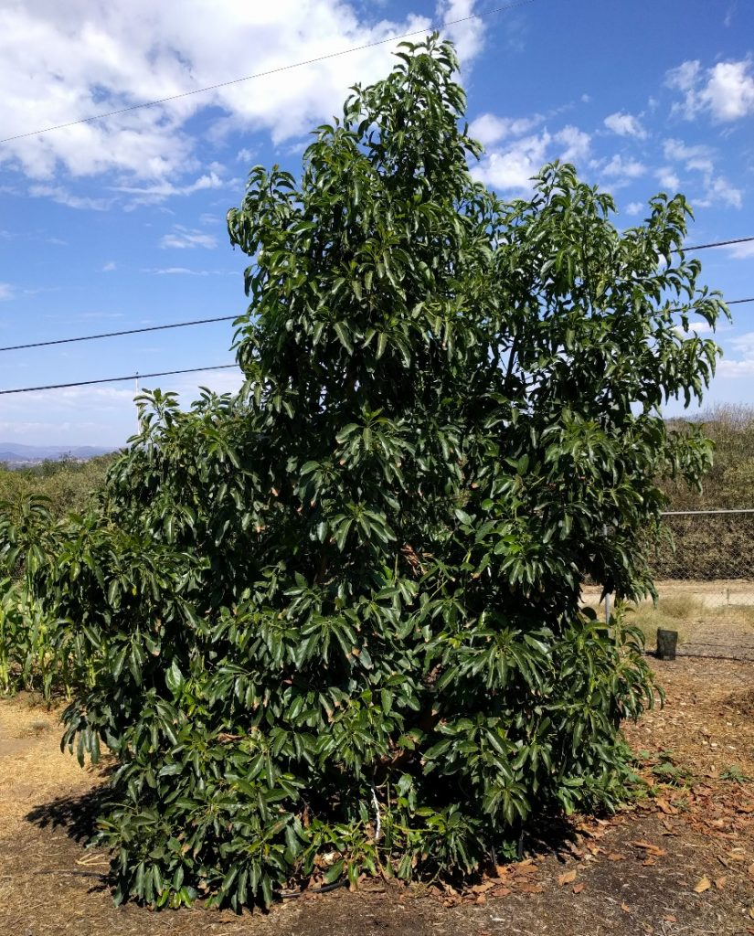 Should you buy a big or small avocado tree? - Greg Alder's Yard
