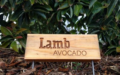 The Lamb/Hass avocado tree: a profile