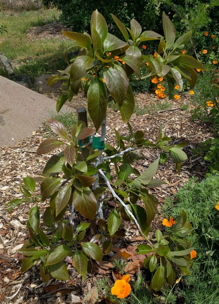 drooping dull thirsty leaves Sharwil avocado