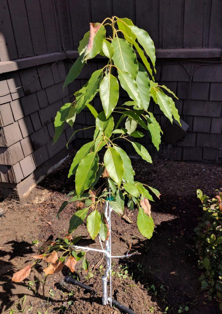 Reading avocado leaves - Greg Alder's Yard Posts: Food