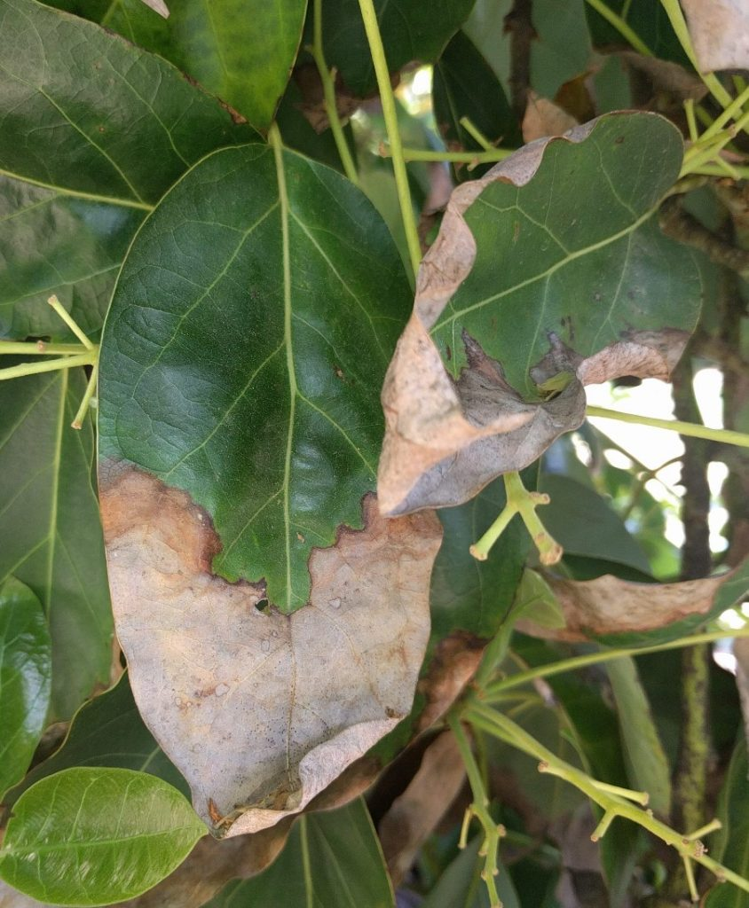 tip and margin burn of avocado leaf from chloride in irrigation water