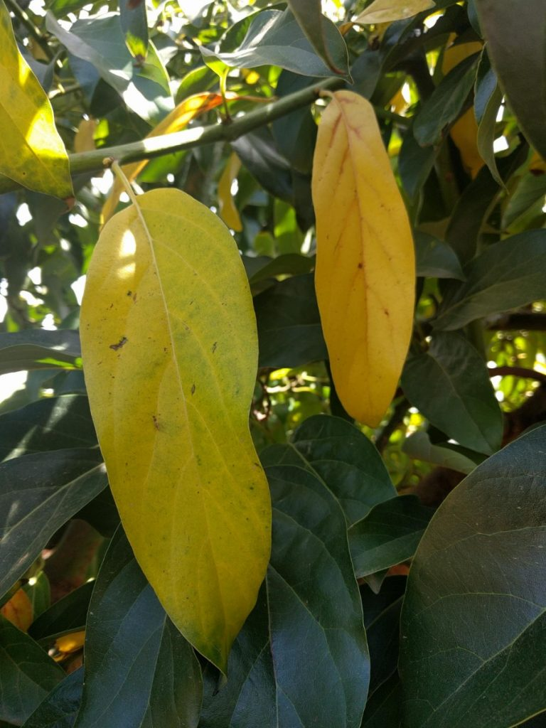 yellowing dying avocado leaves Reed