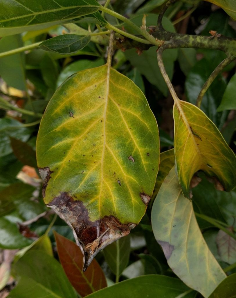 yellowing dying leaves Fuerte avocado