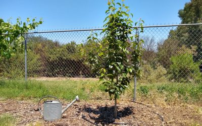 How much to water a fruit tree in Southern California, roughly