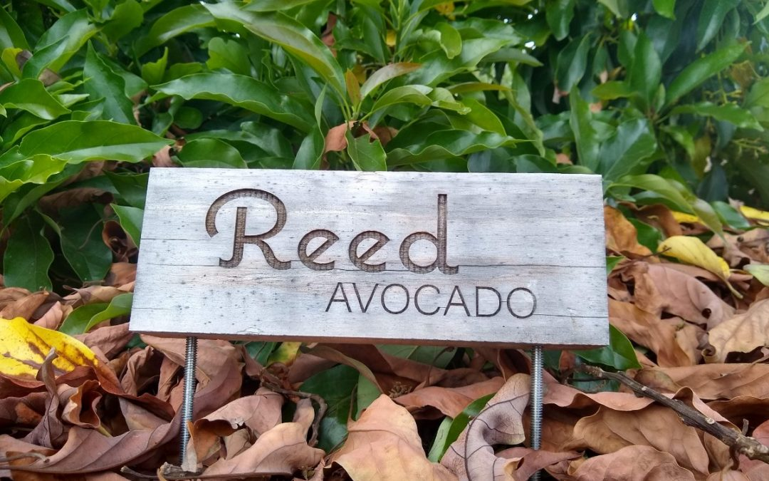The Reed avocado tree: a profile