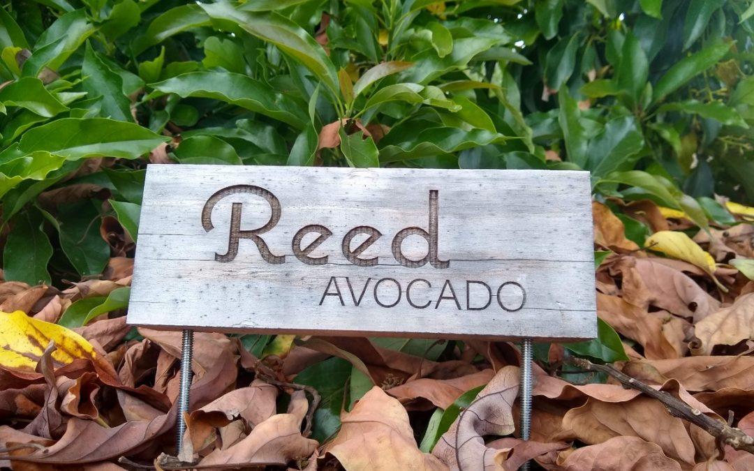 The Reed avocado tree: a profile