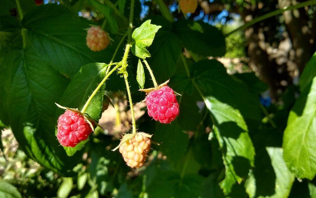 Growing raspberries in Southern California