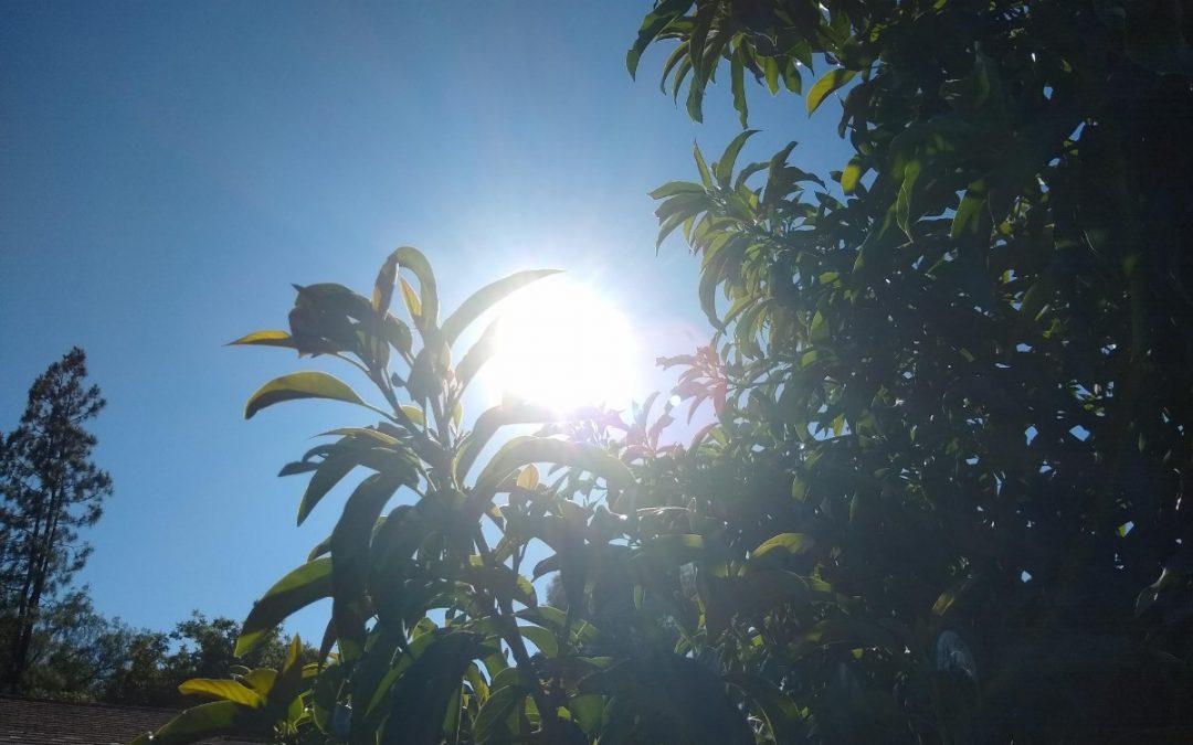Protecting avocado trees from heat