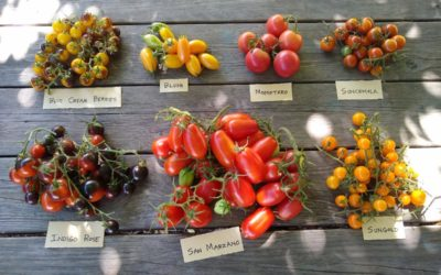 Tomato varieties for Southern California, 2019