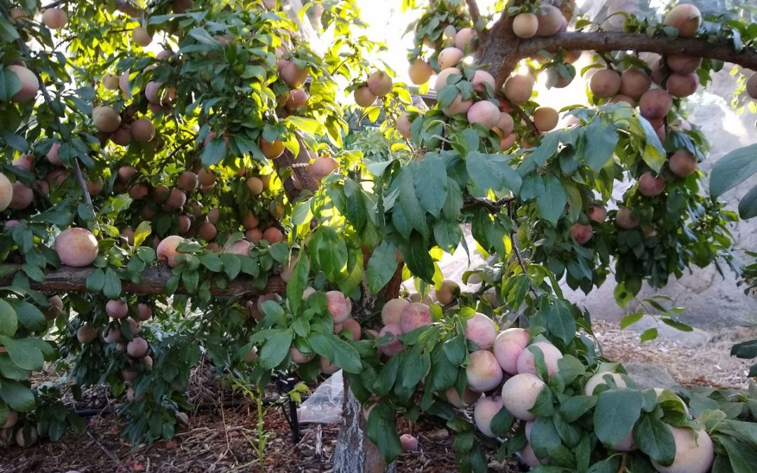 Growing pluots in Southern California