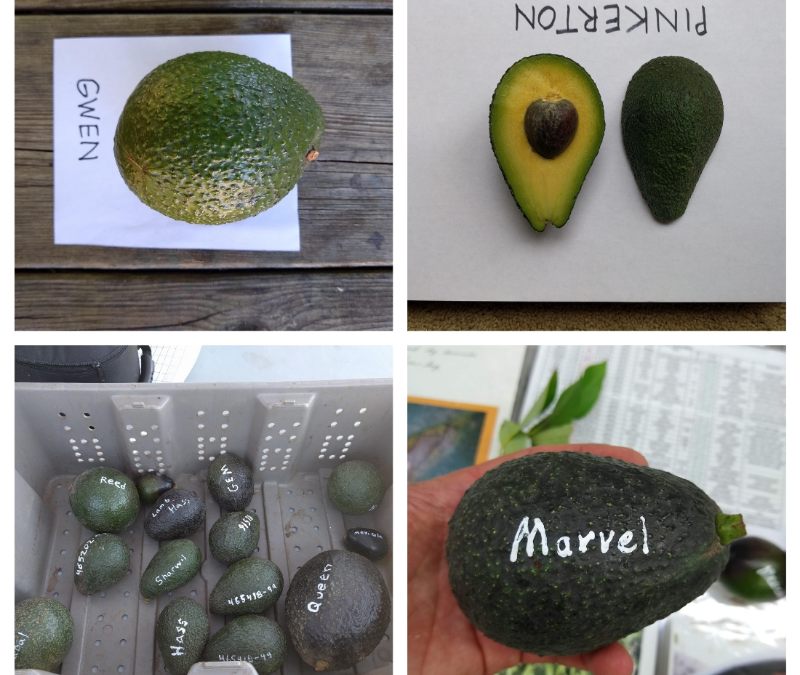 Avocado varieties for year-round harvest