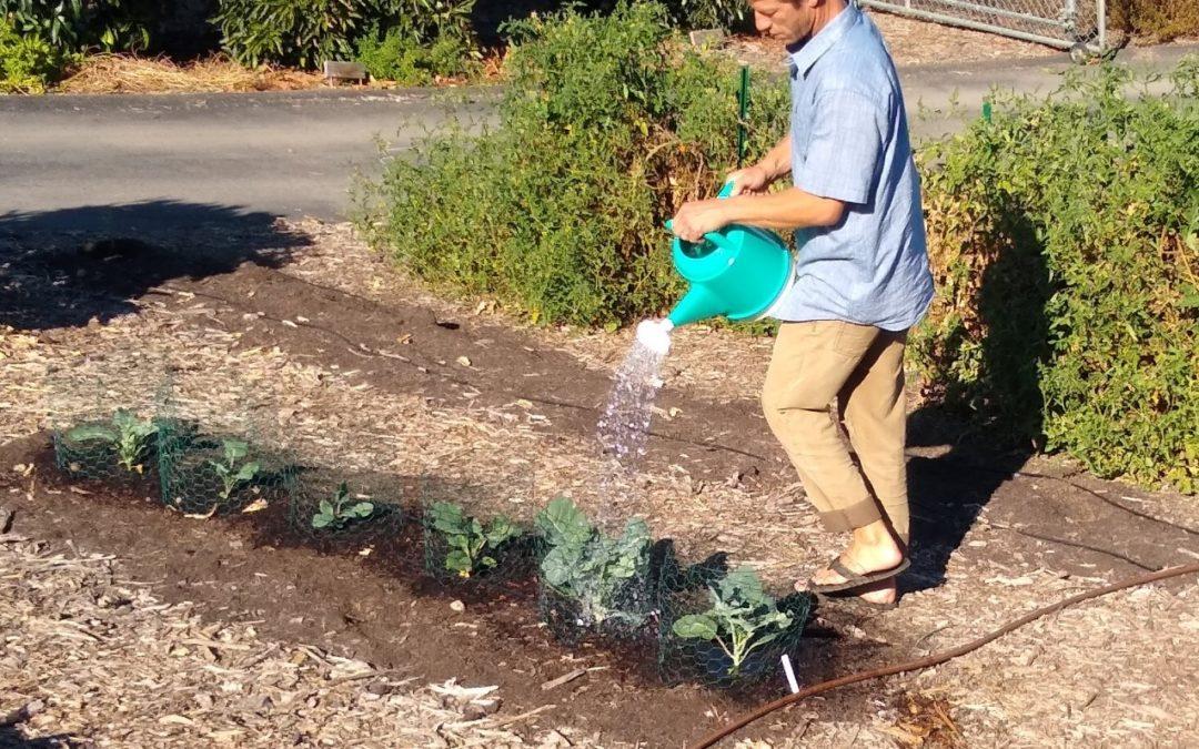 Handwatering vegetables