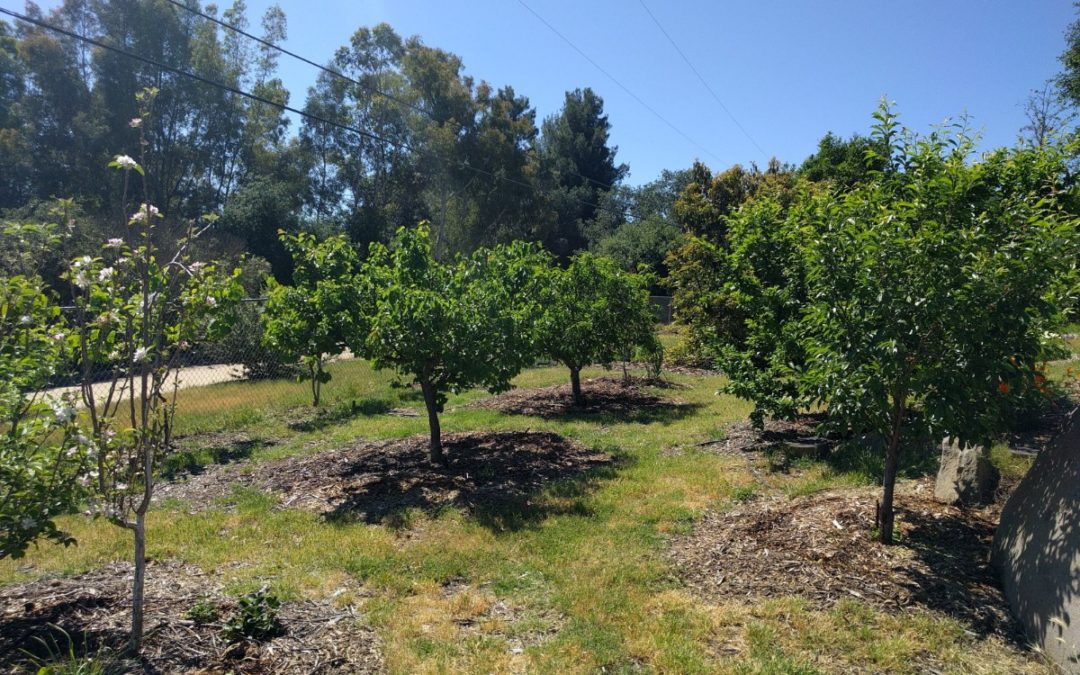Fruit trees for a year-round harvest in Southern California