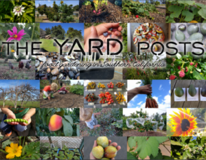 How to plant and stake an avocado tree - Greg Alder's Yard