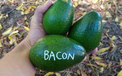 The Bacon avocado tree: a profile