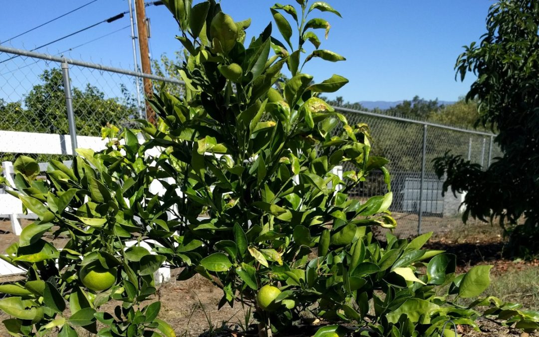 Beware of rootstock suckers on citrus trees
