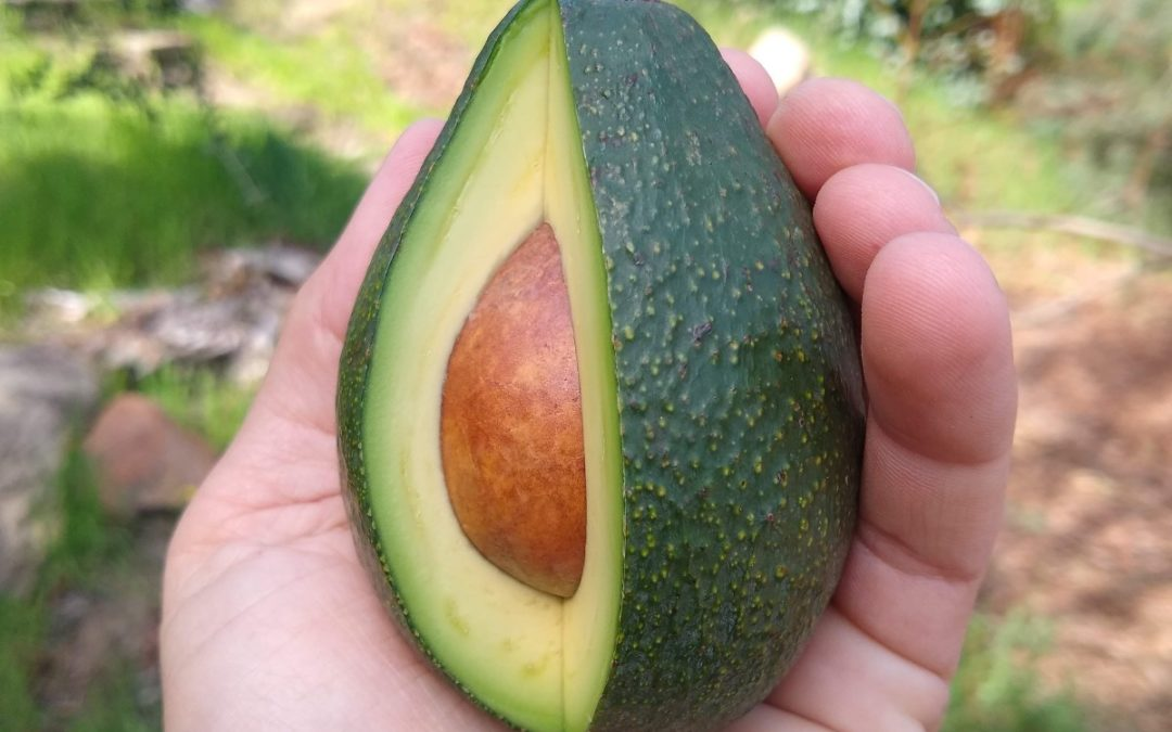 The Fuerte avocado tree: a profile