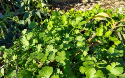 Growing cilantro in Southern California