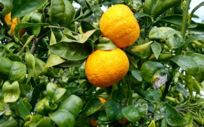 The Gold Nugget mandarin tree: a profile
