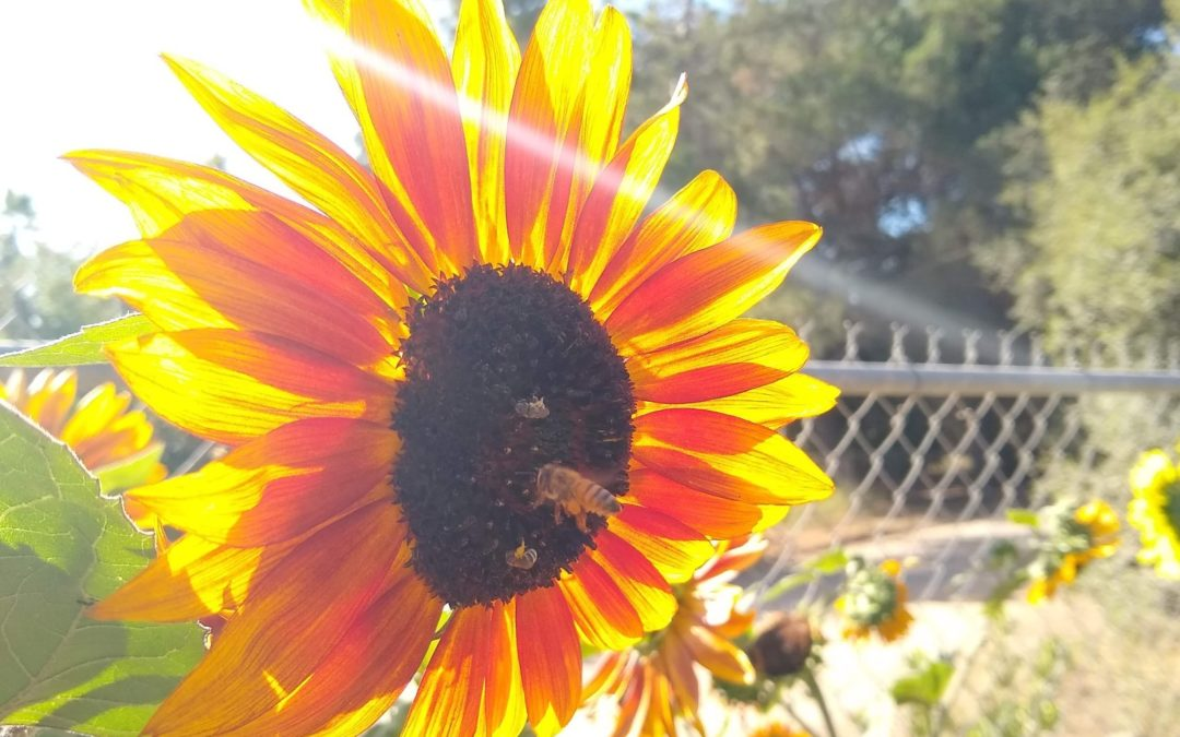 Bees on flowers in Southern California