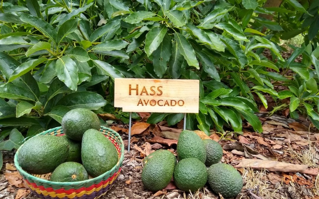 The Hass avocado tree: a profile
