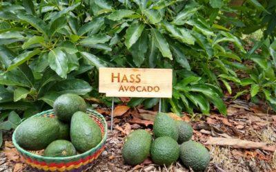 The Hass avocado tree: a profile