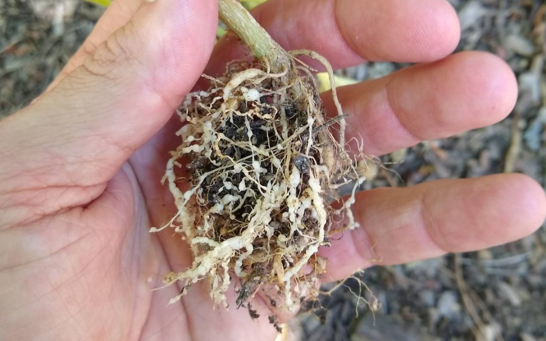 What are root knot nematodes?
