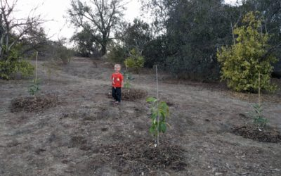 How far apart to plant avocado trees